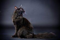 Black Maine Coon cat Stock Photo