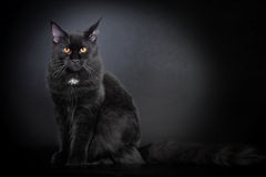 Black Maine Coon cat Royalty Free Stock Image
