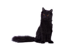Black Maine Coon cat on white