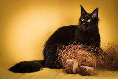 Black maine coon cat on yellow  background Stock Photos