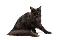 Black Maine Coon Royalty Free Stock Photo