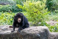 Malayan sun bear. Black Malayan sun bear sit on big stone Royalty Free Stock Photos