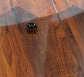 Black male bold jumping spider on hardwood floors inside a house Stock Photos