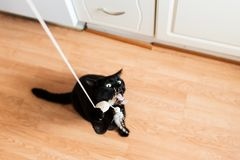 Black male cat playing with feather toy Stock Images