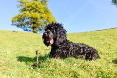 Black Male Cockapoo dog with stick. A black male Cockapoo dog with stick on a Spring day in the Nottinghamshire countryside Royalty Free Stock Photos
