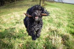 Black male Cockapoo dog with stick. A young black male Cockapoo dog running with a stick Stock Photo