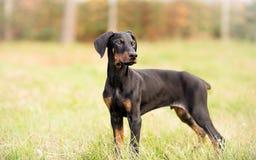 Black Male Doberman Pinscher Puppy Royalty Free Stock Image