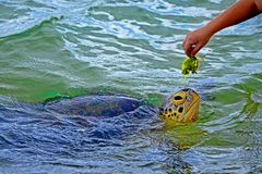 Black male hand and big turtle in the water in Sea Turtles Conservation Research Project in Bentota.  royalty free stock image