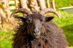 Black Male Sheep. Highlander black male sheep portrait in a Scottish countryside. Elgol in Skye Island, Scotland, Europe Royalty Free Stock Photo