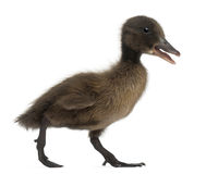 Black Mallard or wild duck, Anas platyrhynchos. 3 weeks old, in front of white background Stock Photos