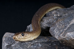 Black mamba Royalty Free Stock Images