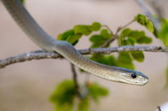 Black Mamba. A Black Mamba scaling through a tree branch Stock Images