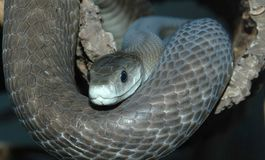 Black mamba smile Royalty Free Stock Photos