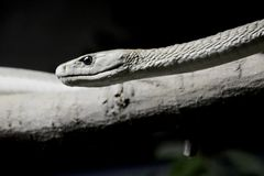 Black Mamba Royalty Free Stock Photography