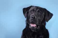Black man  Labrabor. On blue  background Royalty Free Stock Image