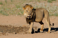 Black-maned African lion stock photo