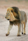 Black-maned African lion Royalty Free Stock Photography