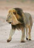 Black-maned African lion. Big, black-maned African lion (Panthera leo) walking, Kalahari, South Africa royalty free stock photography
