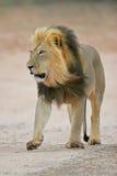 Black-maned African lion. Big, black-maned African lion (Panthera leo) walking, Kalahari, South Africa royalty free stock photos