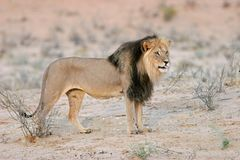 Black-maned lion Stock Photos
