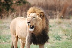 Black Maned Male Lion royalty free stock images