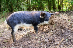 Black Mangalica. Beautiful hairy Swallow-bellied Mangalica pig Sus Scrofa, a Hungarian breed of domestic pig with a thick and woolly coat, in the forest in the Stock Photo