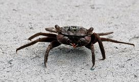 Black mangrove crab Stock Photography