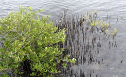 Black Mangrove Tree. With its distinctive aerial or aerating roots in the Merritt Island National Wildlife Refuge, Florida Royalty Free Stock Photo