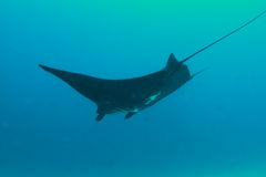 Black manta ray Stock Image
