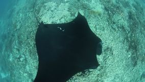 Black Manta Ray at Cleaning Station in Raja Ampat. In Raja Ampat, Indonesia, a black manta ray, Manta alfredi, cruises over a shallow, underwater ridge where stock footage