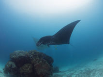 Black Manta ray is flying. At Raja Ampat in Indonesia Stock Photos