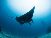 Black Manta ray is flying. In Raja Ampat in Indonesia Royalty Free Stock Image