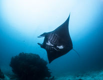 Black manta ray. At raja ampat Stock Photos