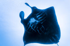 Black manta ray Royalty Free Stock Photography