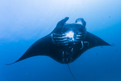 Black manta ray Royalty Free Stock Photo