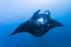 Black manta ray Royalty Free Stock Photo