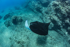 Black mantaray in blue water. Of Pacific ocean underwater world with reef corals discovered Stock Image