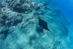 Black mantaray floating over coral reef underwater shot. Black mantaray in blue water of Pacific ocean underwater world with reef corals discovered Royalty Free Stock Images