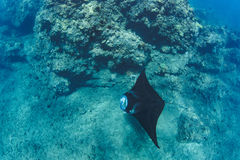 Black mantaray floating over coral reef underwater shot. Black mantaray in blue water of Pacific ocean underwater world with reef corals discovered Royalty Free Stock Photo