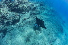 Black mantaray floating over coral reef underwater shot. Black mantaray in blue water of Pacific ocean underwater world with reef corals discovered Stock Photo