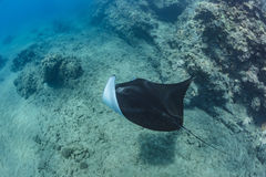 Black mantaray floating over coral reef underwater shot. Black mantaray in blue water of Pacific ocean underwater world with reef corals discovered Royalty Free Stock Photography