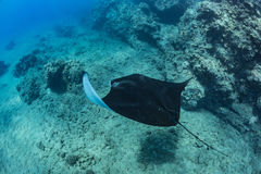 Black mantaray floating over coral reef underwater shot. Black mantaray in blue water of Pacific ocean underwater world with reef corals discovered Stock Images