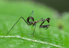 A black mantis nymph Royalty Free Stock Photography