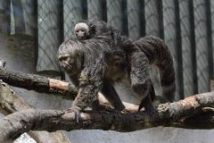 Black-mantled tamarin Royalty Free Stock Photos