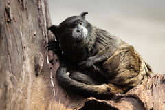 Black-mantled tamarin Stock Photo