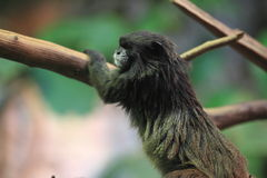 Black-mantled tamarin Stock Image