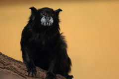 Black-mantled tamarin Stock Photos