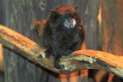 Black-mantled tamarin. On the wood Royalty Free Stock Photo