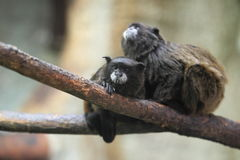 Black-mantled tamarins Royalty Free Stock Photo