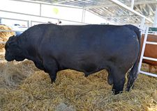 The black manufacturing bull Aberdeen - the Angus breed costs in a stall.  Stock Images